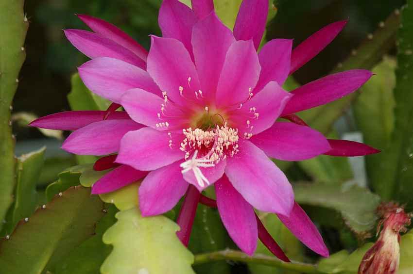 http://www.surifarm.de/mix/images/Pinky-epiphyllum.jpg